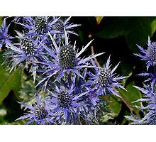 Blue Thistle (Eryngium) Photographic Print