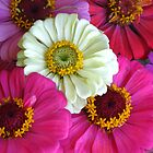 Zinnia burst by Newstyle