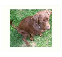 Isabella, a young pure-breed female chocolate labrador retriever Art Print