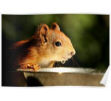 Red Squirrel Kit Poster