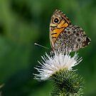 Butterfl-eye by Javimage