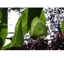 Brimstone butterfly in the sun Photographic Print