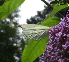 Brimstone butterfly side-view by chelblack