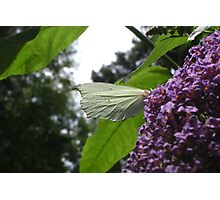 Brimstone butterfly side-view Photographic Print
