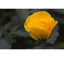 Yellow Rose Photographic Print