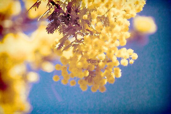 Wattle 3 by Deborah McGrath