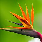 Bird of Paradise by bronwyn febey photography