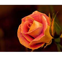 Blushing rose Photographic Print
