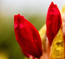 Budding Red Azalea by bronwyn febey photography