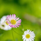 Seaside Daisy by bronwyn febey photography