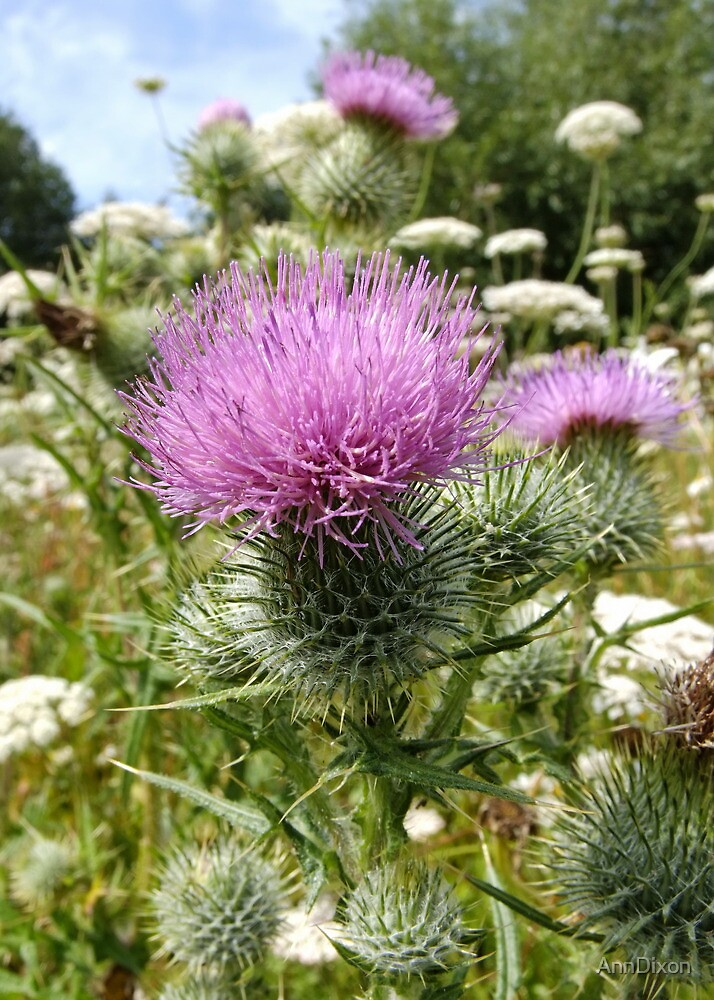 Thistle Field by AnnDixon