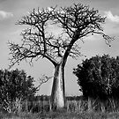 Boab Tree @ Derby WA by Mark Ingram