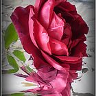 Red Rose in Reflection  - Mr. Lincoln, living Beauty  -Spring, 2009 by EdsMum
