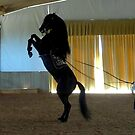 Menorcan Pure-Bred Dancing Horse by Wayne Gerard Trotman