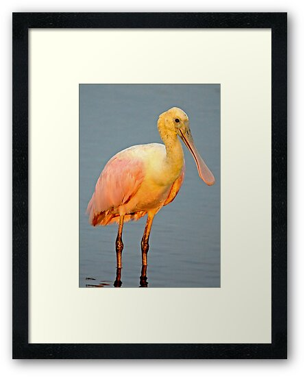 Spoonbill at Dusk by TJ Baccari Photography