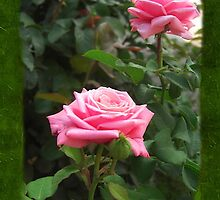 Pink Roses in Anzures 5  Blank P1F0 by Christopher Johnson