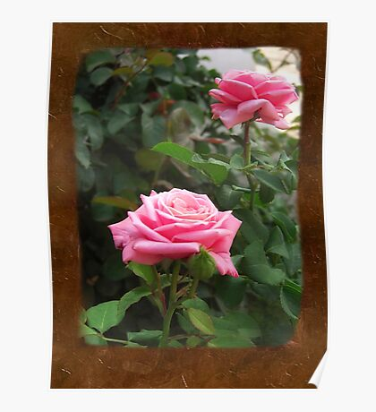 Pink Roses in Anzures 5  Blank P3F0 Poster