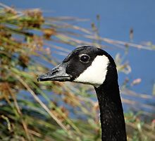 Canada Goose by Tom Curtis