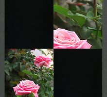 Pink Roses in Anzures 5  Blank Q2F0 by Christopher Johnson