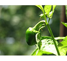 Small Pepper Photographic Print
