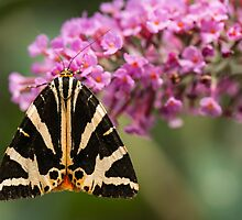 Jersey Tiger Moth at Rest by John Hooton