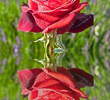 Red Rose reflection by Robert Gipson
