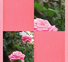 Pink Roses in Anzures 5  Blank Q11F0 by Christopher Johnson