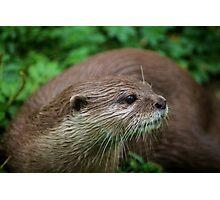 Otter Curiosity Photographic Print