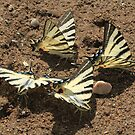 Scarce Swallowtail butterflies mud-puddling, Bulgaria by Michael Field