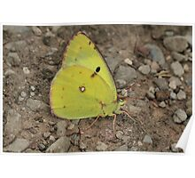 Berger's Clouded Yellow butterfly on mountain track, Bulgaria Poster