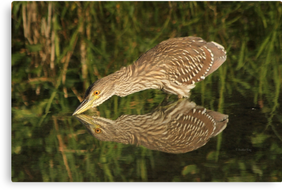 Mirror mirror on the wall who is the fairest heron of all? by Heather King