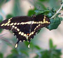 American swallowtail by ♥⊱ B. Randi Bailey