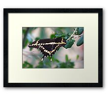 American swallowtail Framed Print