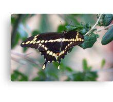 American swallowtail Canvas Print
