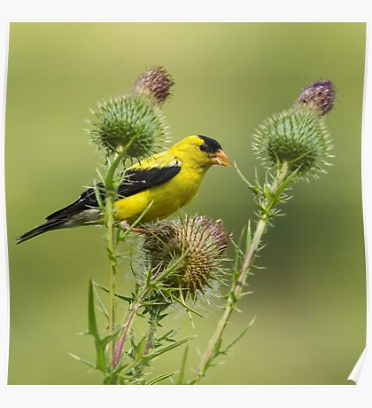 American Goldfinch Eating Thistle Seed Poster