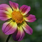 Rosy Outlook for a Dahlia by Monnie Ryan