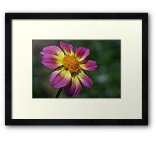 Rosy Outlook for a Dahlia Framed Print