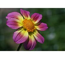 Rosy Outlook for a Dahlia Photographic Print