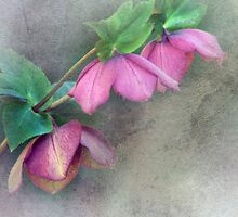 Helebores for Emma by Clare Colins