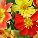 Blazing Hot Dahlias by MarjorieB