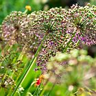 Alliums by Stephen Knowles