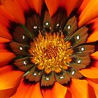 Gazania by Cindy Hitch