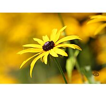 Golden Meadow PRINT Photographic Print