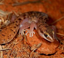 Fat Tailed Gecko  - Diplodatylus conspicillatus ,  Kings canyon  - Alice Springs by john  Lenagan