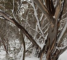 Snowgum in the snow by DavidsArt