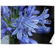 Agapanthus after the Rain Poster