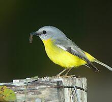 """ Eastern Yellow Robin  Marlo Vic. ""  by helmutk"