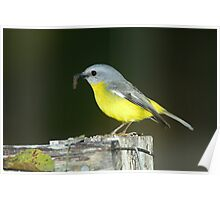 """ Eastern Yellow Robin  Marlo Vic. ""  Poster"