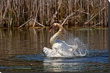 Mute Swan Taking A Bath by Michael Cummings