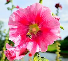 Alcea rosea with bee by 7horses